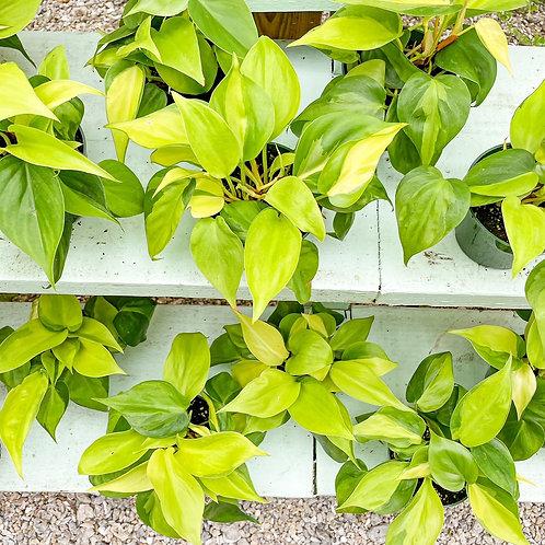 "Philodendron Brasil 4"""