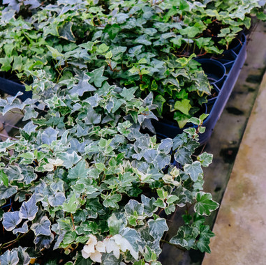 Variagated English Ivy