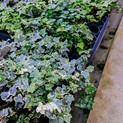 Variagated English Ivy