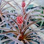 Ana. Comusus (Pineapple)