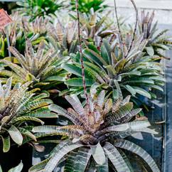 Vriesia Chestnut Hybrids