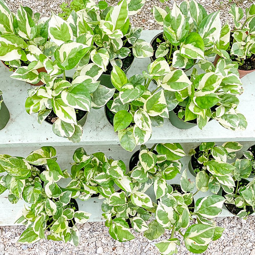 """Pearl and Jade Pothos 4"""""""