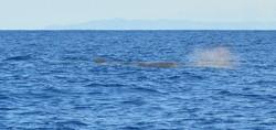Faial Sperm Whale