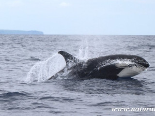 | Azorean Species | Killer Whale - Orcinus orca - Orca in the Azores