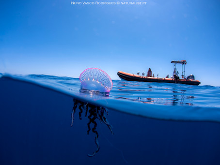 Pelagic Environment | Portuguese Man-o'war: Ecological Traits
