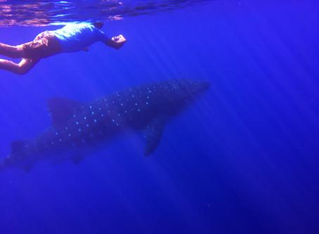 Whale Sharks Code of Conduct     Código Conduta Tubarões-Baleia: Discussion Until 31/10/2020