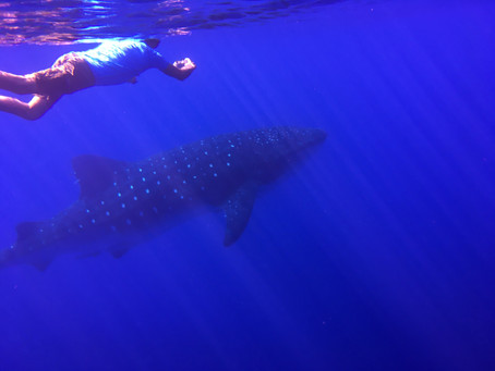 Whale Sharks Code of Conduct ||| Código Conduta Tubarões-Baleia: Discussion Until 31/11/2020