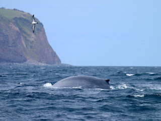 Blue whales crossing Faial-Pico channel        |29-04-2019|