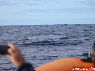 Whale watching Faial and Pico |17102019| Three Sei Whales 20 miles off Horta
