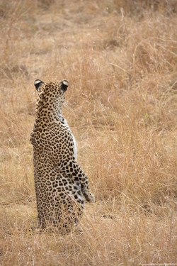 A rare sight of a leopard standing