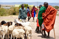 Masai men with their cattle