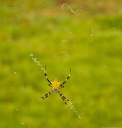 Yellow garden spider (Argiope)