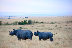 The elusive rhinos finally set out..