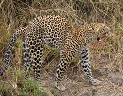 Our first leopard sighting