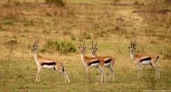 Gazelle's could smell danger...