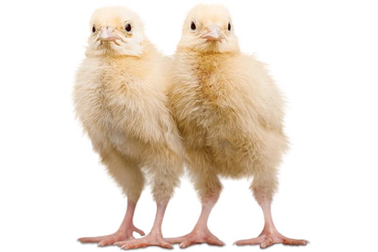 małe kury nie znoszą jajek