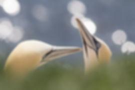 Gannets, by AngelaLouwe. Shutterstock_14