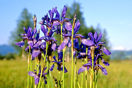 Irises. Courttown fotolia.jpg