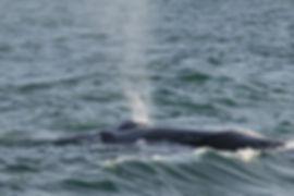 Humpback Whale off Hook Head.jpg