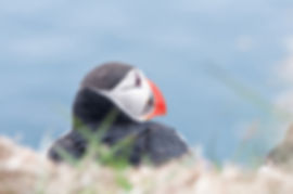 Puffin on Skellig Michael, by  Michal Du