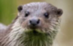Otter .jpg