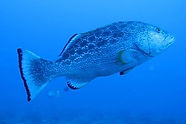 grouper-endless-summer-charters.jpg