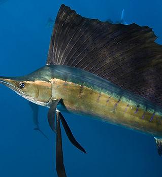 istiophorus-albicans.jpg