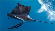 sailfish'.JPG
