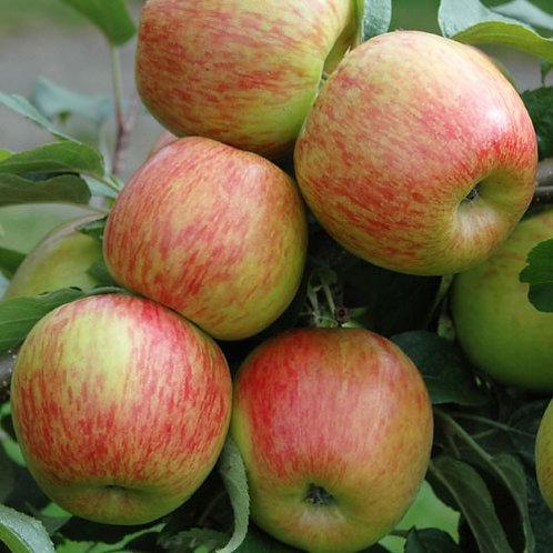 Braeburn Apples - 5 lb