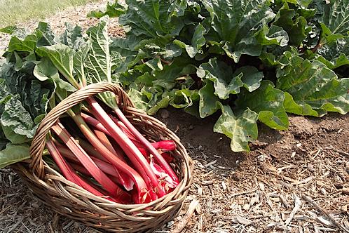 Rhubarb - 1 bundle