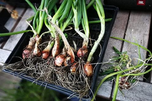 Egyptian Walking Onions - 1 bunch