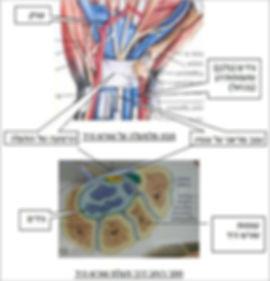 מבנה של שורש כף היד