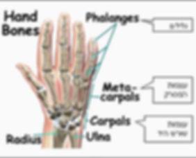 עצמות כף היד