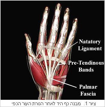 מבנה כף היד לאחר הסרת העור הכפי