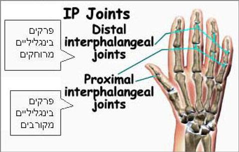 מפרקי אצבעות כף היד
