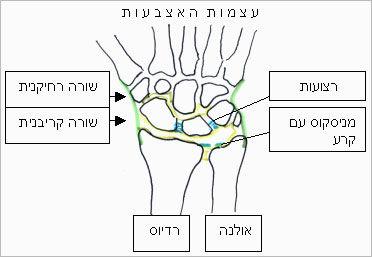 מבנה שורש היד