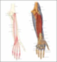 פגיעות בשרירים ובגידים מיישרים של האצבעות