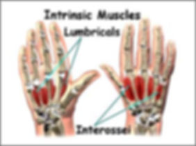 Intrinsic Muscles Lumbricals