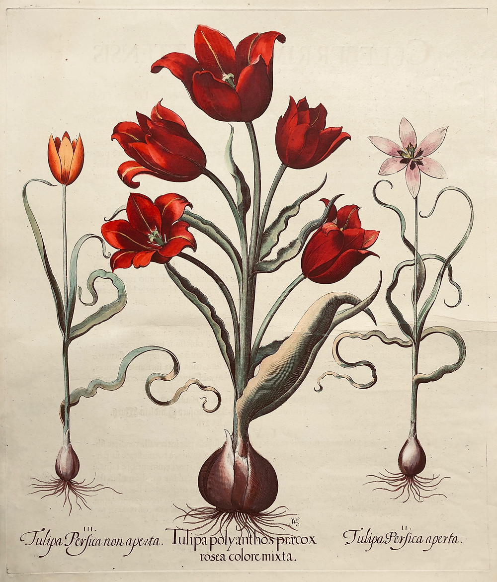 Copperplate print Tulips