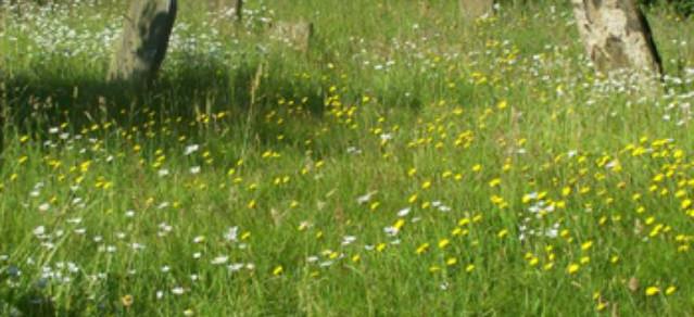 Wildflowers growing in Old Cemetery, 2014