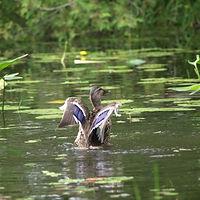 Duck Wings.jpg
