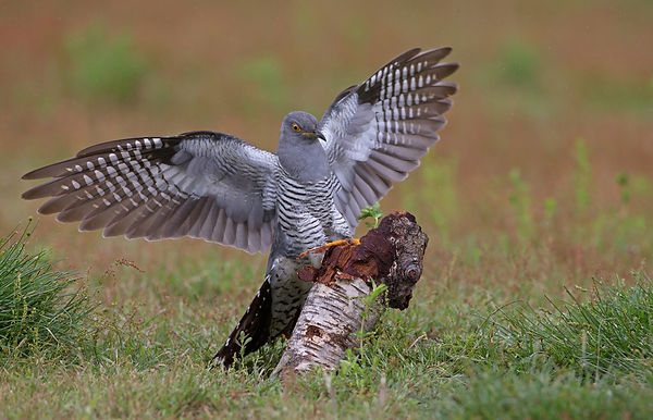 A2_Cuckoo landing on tree stump_.jpg