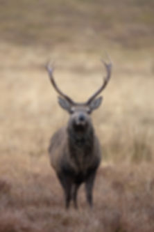 Red deer stag in pouring rain_Mary Pears