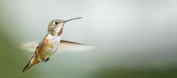Female Rufus Hummingbird _ Peter Ottley.