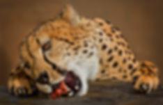 Cheetah Eating.jpg