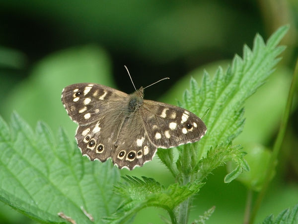 B1-Speckled Wood-Ken Hunt.jpg