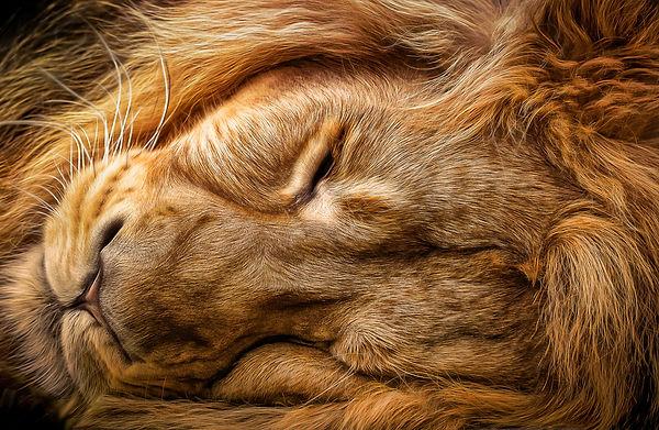 Sleeping Lion_Neil James Brain.JPG