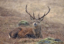 Red deer stag in snow shower.jpg
