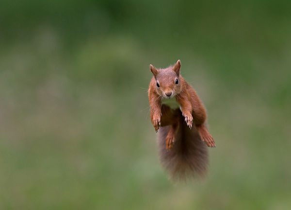 A3_Leaping red squirrel_.jpg