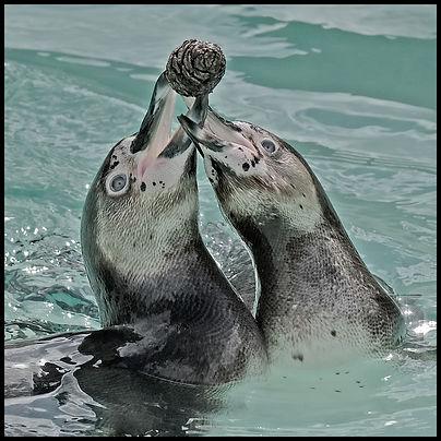 Playful Penguins_Ken Weldon.jpg